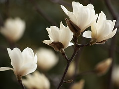 Magnolia heptapeta (yubomojao) Tags: japan   osaka   fllower