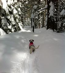 Trail Blazer (pkingDesign) Tags: trees winter dog lake snow snowshoe hope mutt tail tahoe powder trail