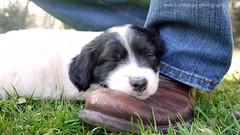 Soooooo tired (Rockabella Anne) Tags: park sun nature sunshine puppy essen puppies play natur sonne nordrheinwestfalen spielen sonnenschein welpe werden whelp northrhinewestphalia hundewelpen essenwerden whelps
