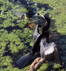Little Buddy (PelicanPete) Tags: friends bird nature beauty spring wings unitedstates florida turtle stripes wildlife shell waterbird buddy wetlands perch sharing resting root wingspan drying interaction southflorida anhinga tailfeathers littlebuddy wingdesign floridapenninsulacooter