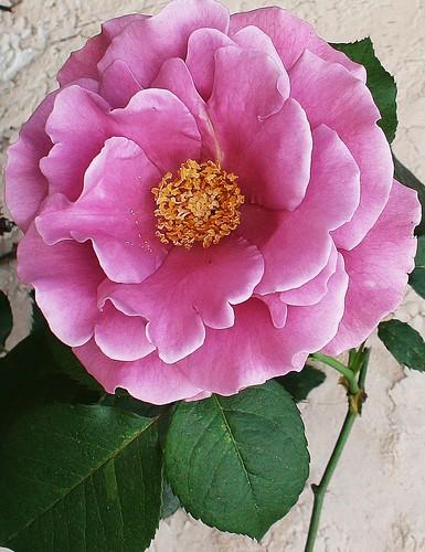La rosa lila by alopez2006