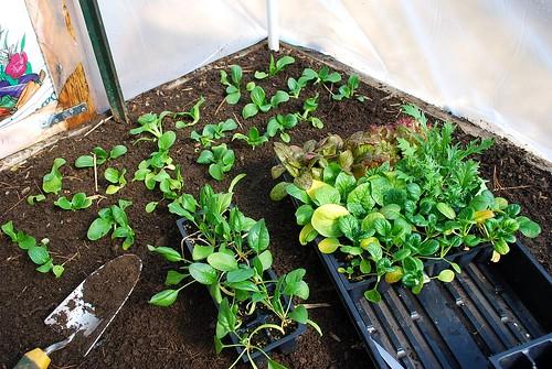 transplanting Asian greens