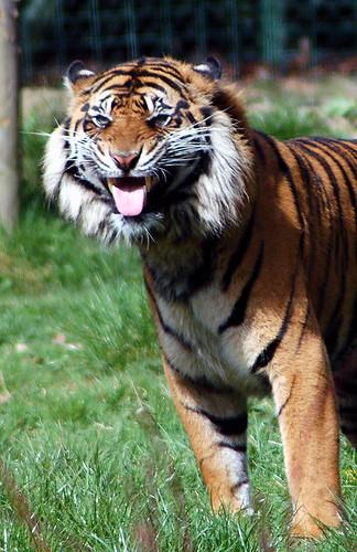 Tiger Says Ugh