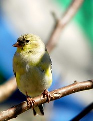 American Goldfinch (Adventurer Dustin Holmes) Tags: bird birds animals midwest wildlife goldfinch aves finch finches missouri ozarks birdwatching americangoldfinch goldfinches fringillidae northamerican passeriformes chordata finchs wildcanary americangoldfinches easterngoldfinch goldfinchs spinustristis granivore wildcanaries americangoldfinchs highqualityanimals