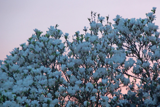 Sunset Magnolia