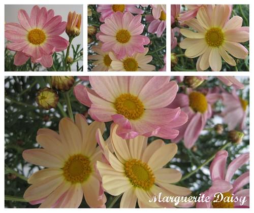marguerite_daisy