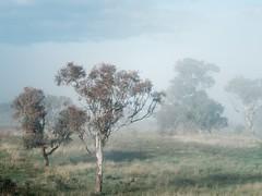mistree (ozhaggis) Tags: morning trees mist grass fog sunrise landscape pentax australia nsw canberra act paddock