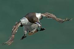 Guillemot-with-fish-Glenn-Welch (Marwell Wildlife) Tags: marwell peoples choice 2016 photographer year wildlife vote