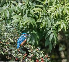 9Q6A7030 (2) (Alinbidford) Tags: alinbidford alancurtis brandonmarsh kingfisher greyheron heron kestrel
