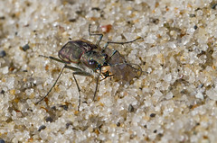 Flashing the Pearly Whites! (brucetopher) Tags: tigerbeetle tiger beetle cicindela beach beachtigerbeetle insect bug critter creature tiny beauty beautiful pattern elytra maculations shell camouflage fast tease frustrating elusive animal outdoor sand