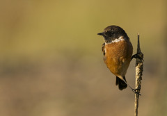 Stonechat (J J McHale) Tags: wildlife nature bird stonechat saxicolatorquatus