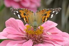 The Big Sipper (Patricia Henschen) Tags: paintedlady zinnia butterfly asteraceae denverbotanicgardens denvercolorado denver colorado botanic garden flowers nature
