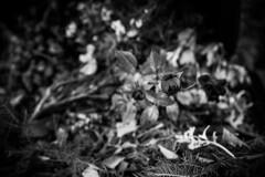 Falllll (junestarrr) Tags: autumn fall roses flowers bin dry decadence graveyard blackandwhite bw monochrome oulu finland