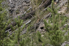"""Yellow-bellied Marmot • <a style=""""font-size:0.8em;"""" href=""""http://www.flickr.com/photos/63501323@N07/29567218963/"""" target=""""_blank"""">View on Flickr</a>"""