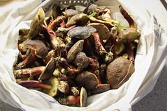 Erste Pilze nach Dauerregen 2016 (blumenbiene) Tags: rhrling pilz mushroom rotfusrhrling xerocomellus chrysenteron forest speisepilz wald rhrlinge rotfusrhrlinge red cracking bolete boletus xerocomus