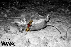Crime Scene in Black and White (TheRealMunkk) Tags: crime scene black white blackandwhite death mouse blood ribs rip bees gore macro