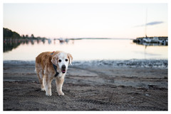 41/52 Nick Sandy Nose (in Explore) (Eline Lyng) Tags: sea coastline beach water landscape nature eveningsun sand larkollen norway pet dog animal golden retriever goldenretriever nick leica leicasl summilux35mmf14asph 35mm summilux manuelfocus bokeh dof portrait 52weeksfordogs littledoglaughedstories littledoglaughednoiret