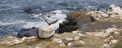 Afternoon Delight (ANiceCupofTea) Tags: california seagulls pelicans cormorants rocks lajolla cliffs pacificocean lajollacove