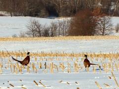 A Pleasant Pheasant Phriday (Jemsabell) Tags: winter snow birds cornfield novascotia pheasants theannapolisvalley