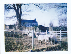 Rural scene (clspeace) Tags: film wales rural polaroid countryside sheep cymru scene gales campo escena ovejas colorpack dyserth 125i