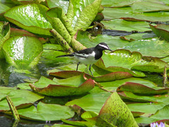 White-browed Wagtail (Lynn Morag) Tags: india bird lynn winged kodaikanal hillstation southindia lynnmorag november10 motacillamaderaspatensis whitebrowedwagtail motacillamadaraspatensis largepiedwagtail allrightsreserved s5is findaquote