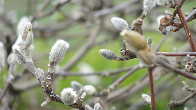 Silver catkins on a willow branch