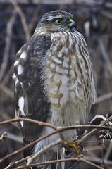 Cooper's Hawk (juvenile) (AZDenney) Tags: birds hawk raptor birdofprey fantasticnature