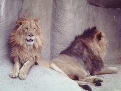 Cleveland Zoo - 1960's (gswetsky) Tags: cats zoo cleveland 1965