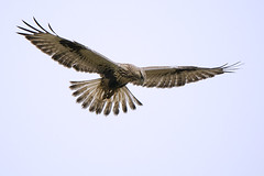 Rough-legged Buzzard (Buteo lagopus) (m. geven) Tags: bird nature animal fauna bravo feathers natuur veer raptor predator rare dier oiseau avian birdofprey vogel o