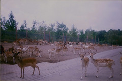 (times new romantic) Tags: nature animals outdoors deer herd