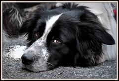 Boredoom (dClaudio [homofugit]) Tags: dog cane puppy boredom boring pascal platinumheartaward mygearandme mygearandmepremium mygearandmebronze mygearandmesilver