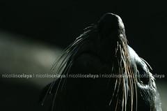 NKR_0739 (nikorimages / Photojournalism is not dead!) Tags: naturaleza fauna uruguay mar cabo sealions oceano cabopolonio atlantico rocha lobosmarinos polonio leonesmarinos nicolascelaya