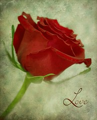 Love (SavingMemories) Tags: flower love floral rose petals flora redrose textures supershot savingmemories suemoffett photoshopelements9