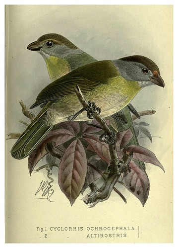 020-Alcaudon de pico agudo-Argentine ornithology…1888- William Henry Hudson y Philip Lutley Sclater