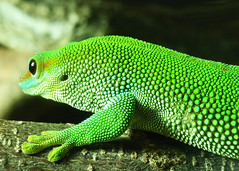 Madagascar Day Gecko (tanakawho) Tags: cute green eye scale animal hand reptile gecko creature emerald madagascardaygecko tanakawho
