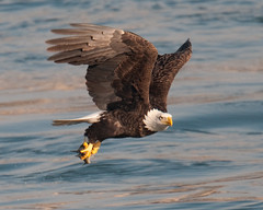 Fishing (Explore) ( Craig Leaper) Tags: nature eagle wildlife baldeagle prey bif conowingo dailynaturetnc11