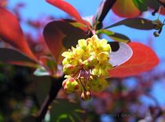 blue day ( Graa Vargas ) Tags: flower yellow berberis graavargas 2011graavargasallrightsreserved