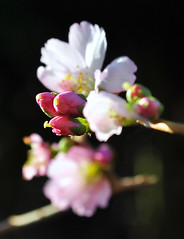 Cherry blossom buds and flowers