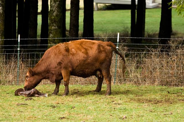 first_calf
