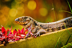 Lizard (Andr Assumpo) Tags: macro animal closeup zoo interesting sopaulo natureza lizard environment zoolgico lagarto calango assuno lizardo canonxs 55250mm 1000d andrassumpo andreassumpcao