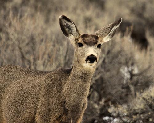 8x10 Mule deer IMG_0424 -1