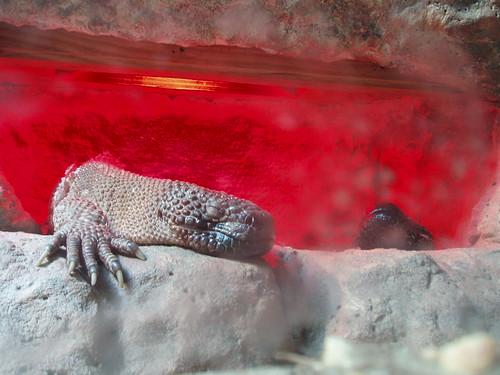 Mexican Beaded Lizards, Nashvile Zoo