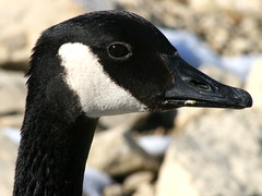 Waterfowl in Winter: The head of a Canadian Goose