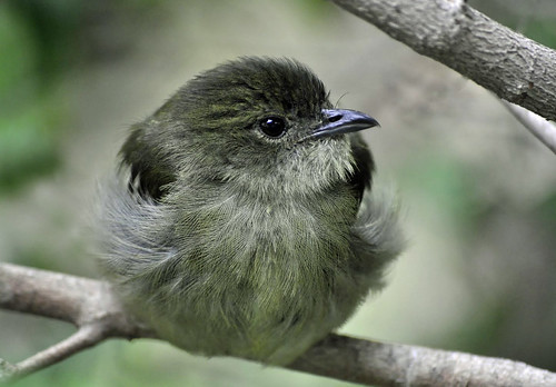 Female white-collared Manakin (Manacus candei)