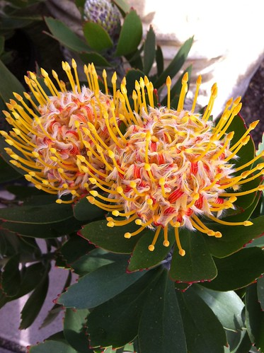 Leucospermum Species or Pin Cushion Protea