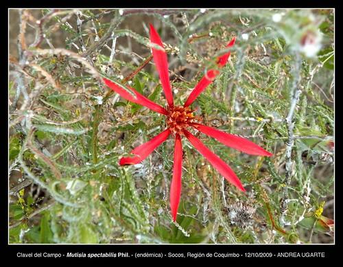 Detalle de la flor de Clavel del campo (<i>Mutisia spectabilis</i>) en Socos, Región de Coquimbo.