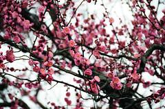 Red Plum Blossom Branch (Bracus Triticum) Tags: winter red flower nature japan flora branch blossom plum 日本 february fukuoka kyushu 九州 iizuka 2月 2011 飯塚市 福岡県 二月 筑豊 にがつ chikuhō 平成23年 gettyimagesjapanq1