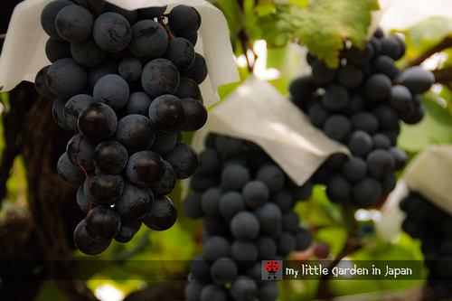 pione-grapes-from-japan