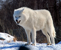 Arctic Wolf (Arvo Poolar) Tags: dog white snow nature articwolfwildlife wintertorontozoo