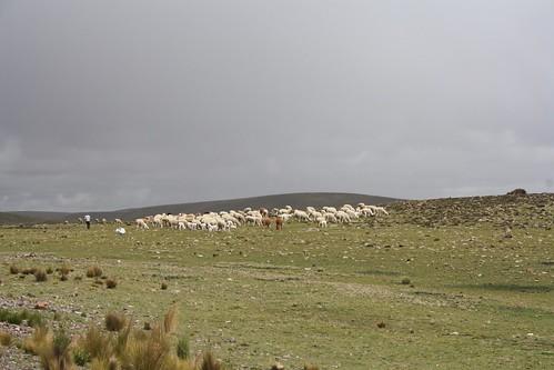 Llama herder